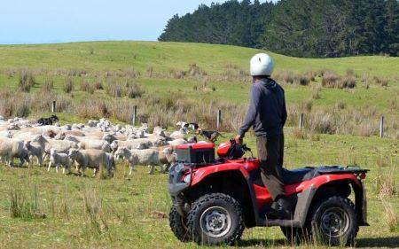 guy rounding up sheep on quad bike